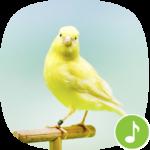 appp io canary bird sounds